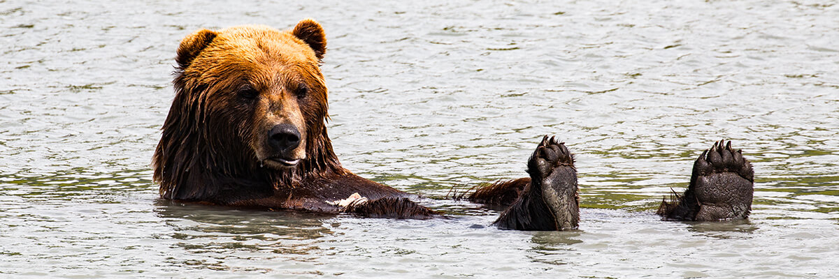 Brown bear relaxing in water with feet up.